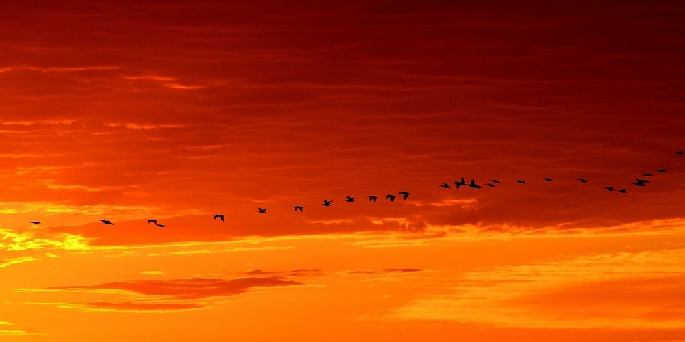 Migratory birds flying in the sunset